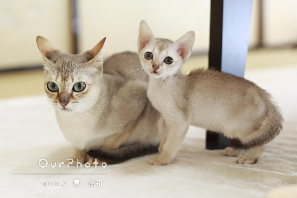 「自然な子猫の姿」綺麗な瞳や柔らかな毛並みをリアルに!ペットの撮影