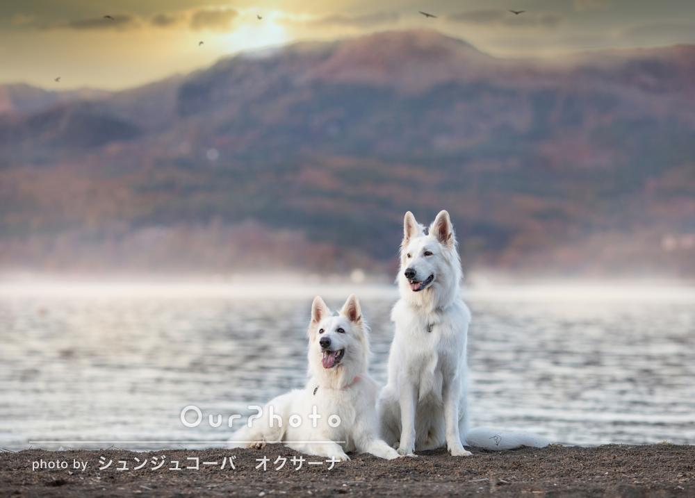「双子で生まれた兄弟犬達の年に一度の再会記念」ペット写真の撮影