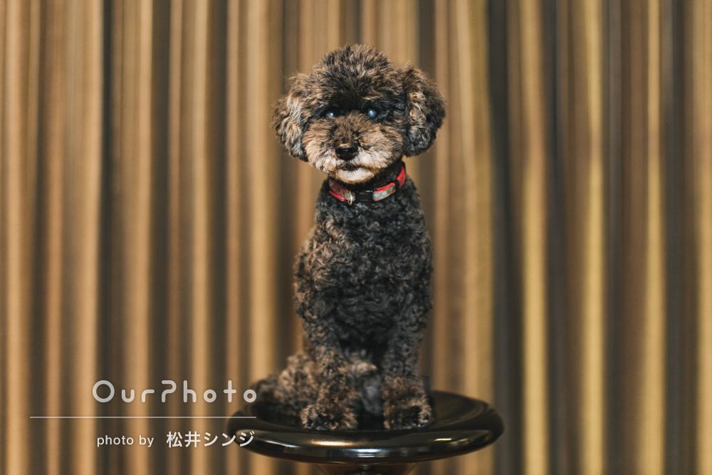 凛々しく座るワンちゃんが愛らしい!自宅で愛犬のペット写真の撮影
